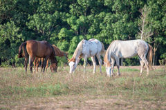 Horses. Eat grass in the field Royalty Free Stock Images