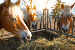 Horses eat grass Royalty Free Stock Image