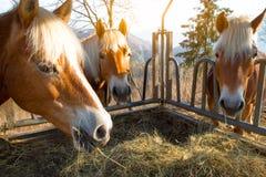 Horses eat grass Royalty Free Stock Image