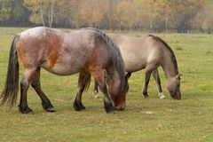 Horses eat grass in the pasture royalty free stock photo