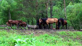 Horses a eat a grass on pasture stock video footage