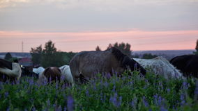 Horses. Eat a grass at sunrise stock footage