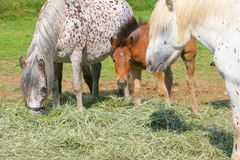 Horses eat hay. The horses eat grass hay Royalty Free Stock Photos