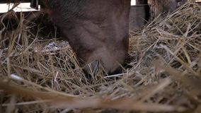 Horses eat hay. Brown horses eating hay company stock video