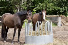 Horses eat hay. Brown Holsteiner horses standing on a hay rack and eat hay Royalty Free Stock Images