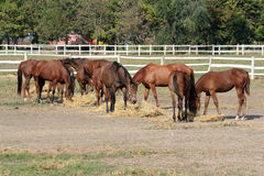 Horses eat hay Stock Image
