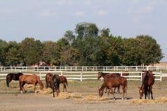 Horses eat hay Royalty Free Stock Photo
