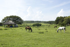 Horses eating Stock Photo