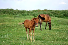 Horses eating. 2 horses eating in the field Royalty Free Stock Image