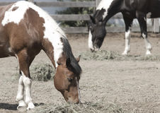 Horses eating. Two horses eating on a farm Royalty Free Stock Photos