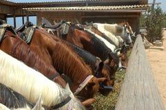 Horses eating Stock Image