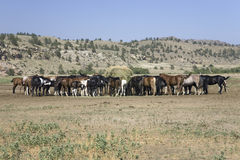 Horses eating at Black Hills Royalty Free Stock Images