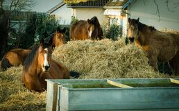 Horses eating dried hay