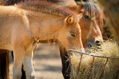 Horses eating dry grass Royalty Free Stock Photo