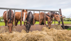 Horses eating at a feed fence Stock Photos