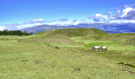 Horses eating in a field. Horses in a field eating grass and relaxing, on a sunny day. Cochasqui, Pichincha province, Ecuador Stock Images