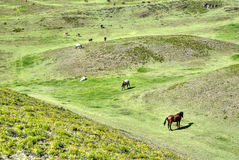 Horses eating in a field. Horses in a field eating grass and relaxing, on a sunny day. Cochasqui, Pichincha province, Ecuador Stock Photos