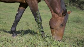 Horses eating in freedom on farm, pasture field
