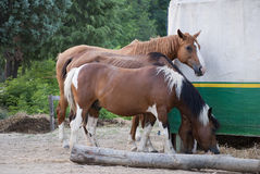 Horses eating Stock Photo
