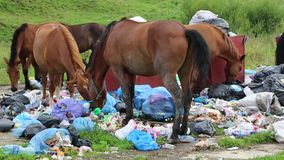 Horses eating garbage at dump stock video