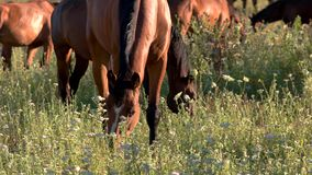 Horses eating grass. stock footage
