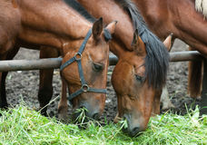 Horses eating grass Royalty Free Stock Photos