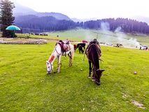 Horses eating grass at Doodpathri Kashmir India while smoke is behind royalty free stock photos