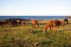 Horses eating grass on Easter Island Royalty Free Stock Photo
