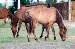 Horses are eating grass on the farm. Brown Horses graze in farm Stock Image