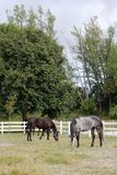 Horses Eating Grass in the Field. Dark Brown and Grey Horses Eating Grass in the Field Royalty Free Stock Image