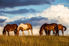 Horses eating grass royalty free stock image
