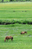 Horses eating grass Stock Images