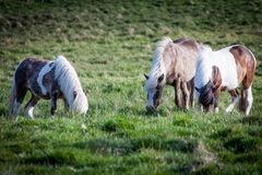Icelandic horses eating grass. Icelandic horses that live free and eat grass on the green hills of the island Royalty Free Stock Photos