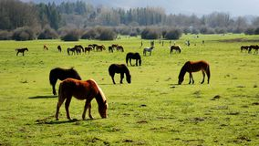 Horses eating grass meadow. Horses eating grass in the meadow stock video