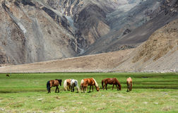 Horses eating grass on mountain Royalty Free Stock Photo