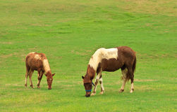 Horses eating grass in tropical field Stock Image