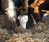 Horses eating hay. In a barn Royalty Free Stock Photo