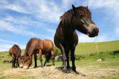 Horses Eating Hay. Wide-angle view of a  group of ponies eating hay Royalty Free Stock Images