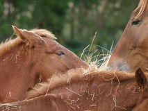 Horses Eating Hay Royalty Free Stock Images