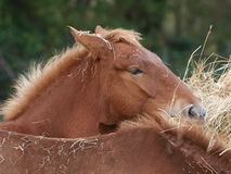 Horses Eating Hay Stock Images