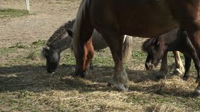 Horses eating hay on the farm. stock video