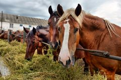 Horses eating hay royalty free stock photography