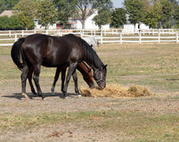 Horses eating hay Royalty Free Stock Photo