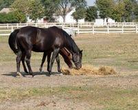 Horses eating hay Royalty Free Stock Photo
