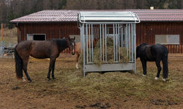 Horses eating hay Stock Photography