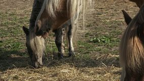 Horses eating hay on the farm. stock footage