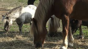Horses eating hay on the farm stock footage