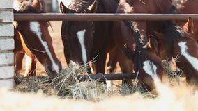 Horses eating hay on the farm stock video