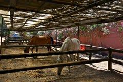 Horses eating hay inside the paddocks Stock Photo