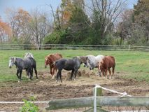 Horses eating hay for lunch. Draft horses eating their lunch Stock Image